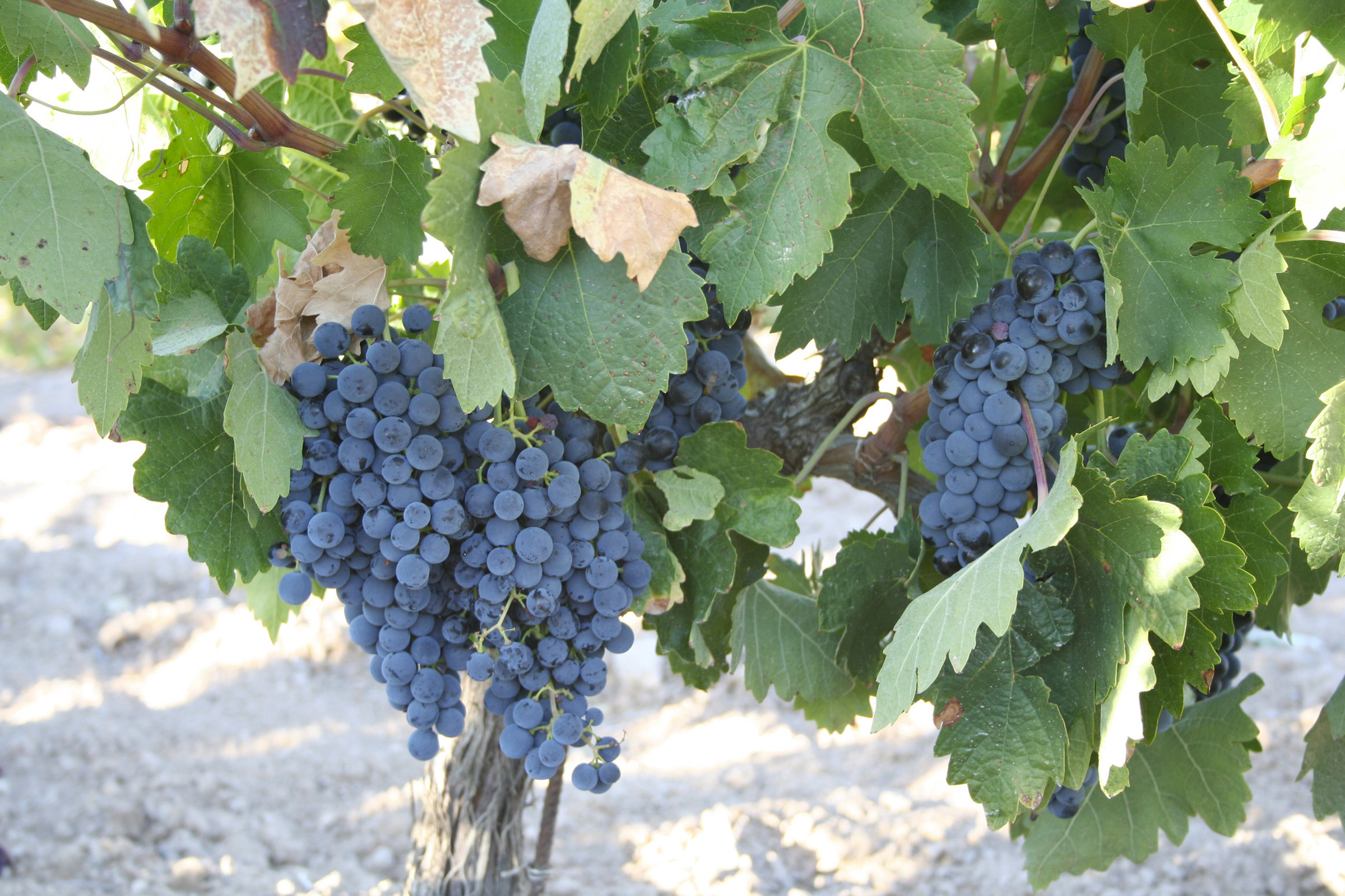 Tempranillo_grappes-5101